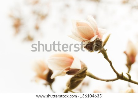 Blossoming magnolia - stock photo