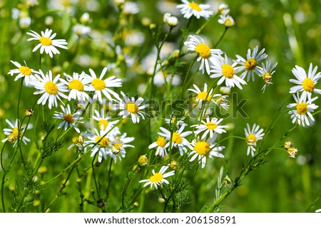 blossoming of a camomile pharmaceutical