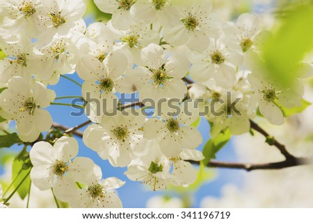 Blossoming of cherry flowers in spring time against blue sky, natural floral seasonal background - stock photo