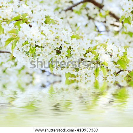 Blossoming of cherry flowers in spring time against blue sky, natural seasonal background with water reflection - stock photo