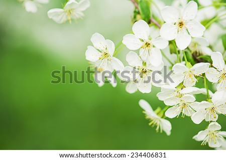 Blossoming of cherry flowers in spring time with green leaves, macro - stock photo