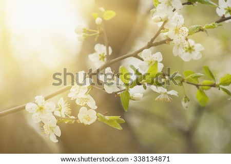 Blossoming of cherry flowers in spring time with green leaves, macro sunny background - stock photo