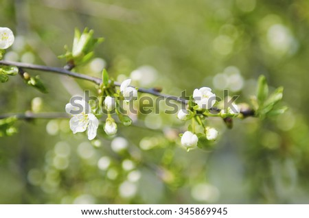 Blossoming of cherry flowers in spring time with green leaves, natural floral seasonal background - stock photo