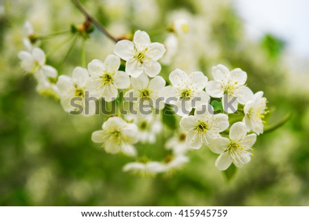 Blossoming of cherry flowers with green leaves, natural floral seasonal background, spring background