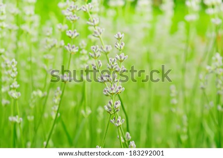 Blossoming of lavender flower. macro floral background - stock photo