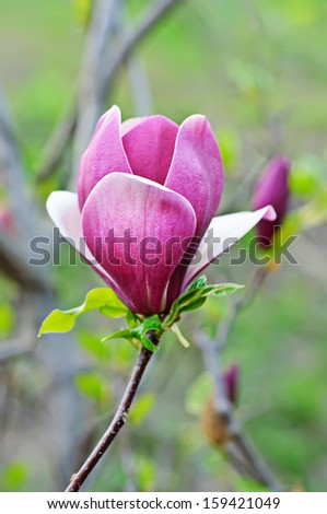 Blossoming of magnolia flowers in spring time - stock photo