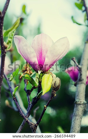 Blossoming of magnolia flowers in spring time, floral background - stock photo