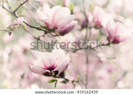 Blossoming of magnolia white flowers in spring time, retro vintage hipster image - stock photo