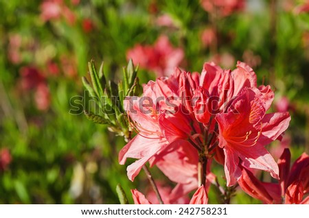 Blossoming of  pink and red rhododendrons and azaleas in the garden, natural flower background - stock photo