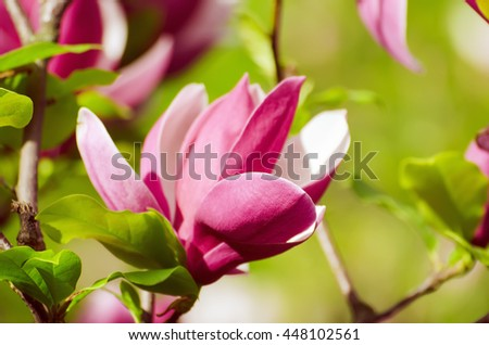 Blossoming of pink magnolia flowers in spring time, floral background - stock photo