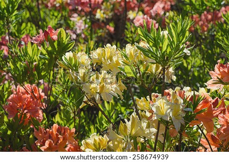 Blossoming of  pink, yellow and red rhododendrons and azaleas in the garden, natural flower background - stock photo