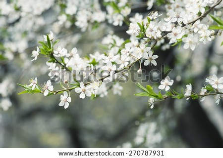 Blossoming of plum flowers in spring time with green leaves, macro - stock photo