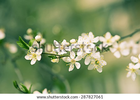 Blossoming of plum flowers in spring time with green leaves, vintage floral background