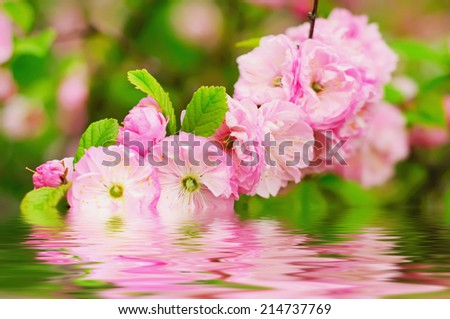 Blossoming of sakura flowers, floral natural background - stock photo