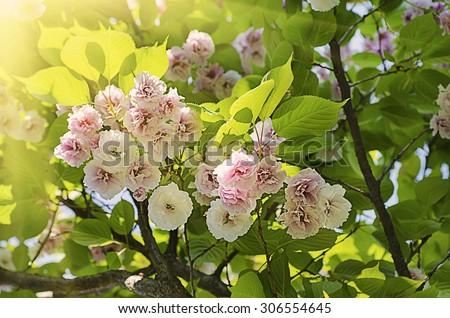 Blossoming of sakura tree flowers, natural sunny floral spring seasonal background - stock photo