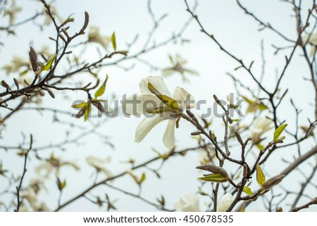 Blossoming of white magnolia flowers in spring time. Beautiful magnolia flowers on cloudy sky background. Many spring white flowers. Magnolia tree blossoms. Spring picture with place for your own text - stock photo