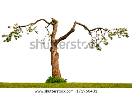 blossoming old apple tree isolated on white