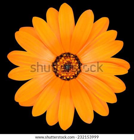 Blossoming Orange Pot Marigold Flower - Beautiful Calendula officinalis in Full Bloom Isolated on Black Background. - stock photo