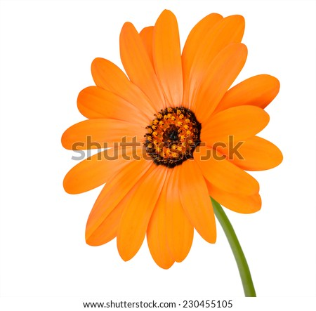 Blossoming Orange Pot Marigold Flower with Green Stick - Beautiful Calendula officinalis in Full Bloom Isolated on White Background. - stock photo