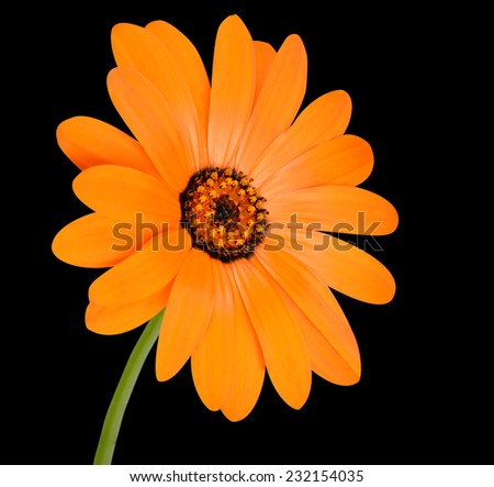 Blossoming Orange Pot Marigold Flower with Green Stick - Beautiful Calendula officinalis in Full Bloom Isolated on Black Background. - stock photo