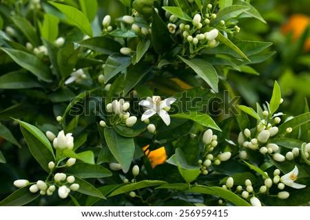 Blossoming orange tree - stock photo