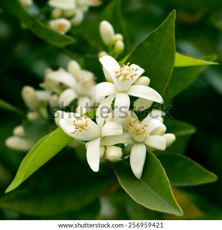Blossoming orange tree - stock photo