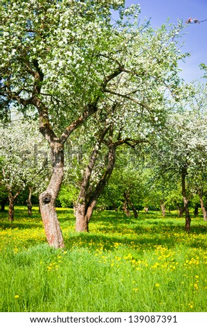 blossoming orchard in the spring against the blue sky - stock photo