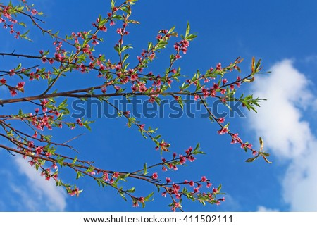 Blossoming peach on a blue background