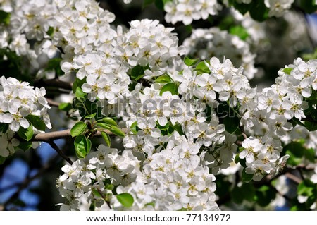 Blossoming pear. - stock photo