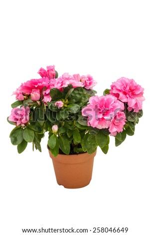 Blossoming pink azalea in a flowerpot isolated on white background