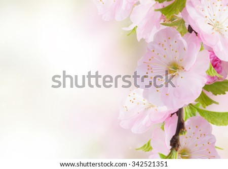 Blossoming pink  cherry flowers on blue sky background - stock photo