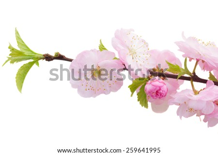 Blossoming pink sacura cherry  tree flowers close up  against white background