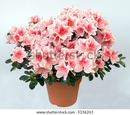 Blossoming plant of azalea (pink flowers) in flowerpot - stock photo