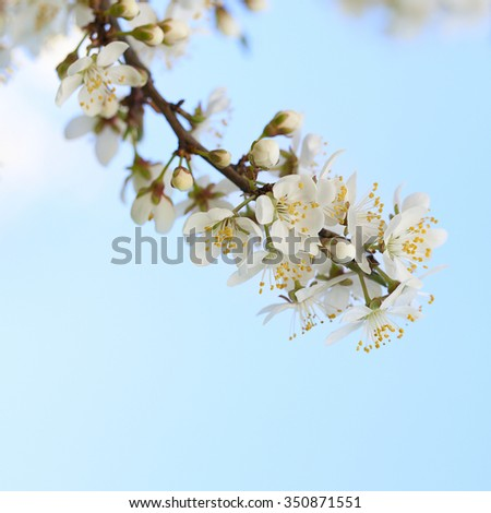 Blossoming plum branch on blue sky background - stock photo