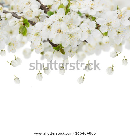 Blossoming plum flowers against white background - stock photo