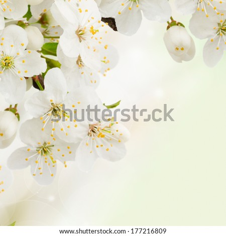 Blossoming plum   flowers  close up on green garden background - stock photo