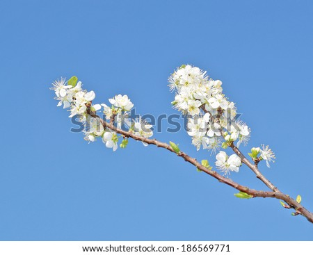 Blossoming plum flowers on a blue sky background. - stock photo