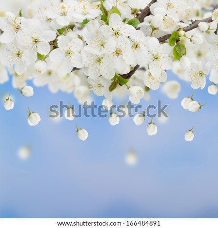 Blossoming plum flowers on blue sky background - stock photo