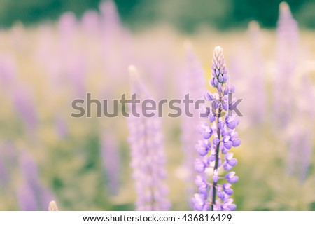 Blossoming purple lupines in meadow, floral summer background with copy space left, soft focus