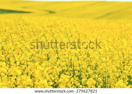 Blossoming rape field  - stock photo