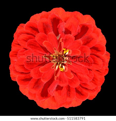 Blossoming Red Zinnia Elegans Flower Isolated on Black Background