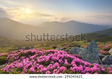 Blossoming rhododendron in mountains. Pink flowers in the sunlight. Morning fog - stock photo