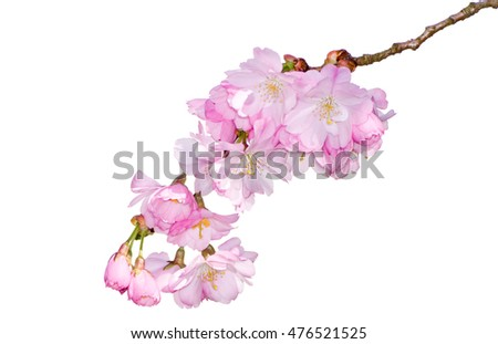 Blossoming season with pink cherry blossoms