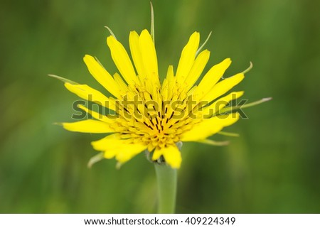 Blossoming Seasonal Yellow Wild Flower in the Park. Close Up. - stock photo