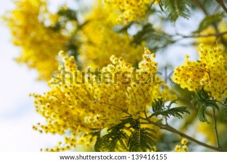 Blossoming spring Acacia dealbata  in spring - stock photo