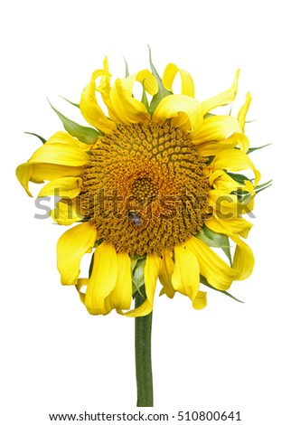 Blossoming sunflower pollinated by a bee isolated on white background