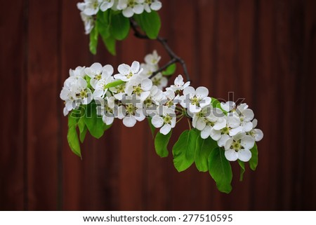 Blossoming tree branch with white flowers and green leaves on bokeh bright brown background. Shallow depth of field. - stock photo