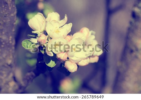 Blossoming tree brunch with white flowers on bokeh green background. Blue toned - stock photo