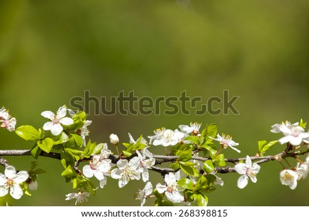 Blossoming tree brunch with white flowers on bokeh green background with space for text. - stock photo