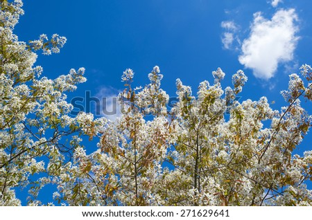Blossoming tree in spring under a blue sky - stock photo